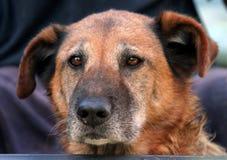 Old Dog. Close up of older, graying dog Royalty Free Stock Photos