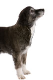 Old dog. Pretty old dog sitting up on white background Stock Image
