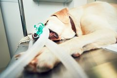 Old dog in animal hospital. Old labrador retriever in animal hospital. Dog attached to a breathing device is ready for tumor surgery Royalty Free Stock Photo