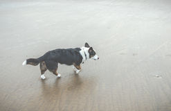 Old dog on the beach.  Royalty Free Stock Images