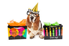 Old Dog Birthday Party With Presents Royalty Free Stock Photography