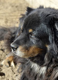 Old dog. Royalty Free Stock Photography