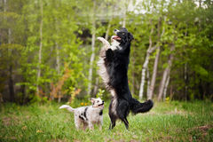 Old dog border collie and puppy playing Royalty Free Stock Photography
