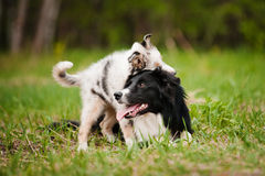 Old dog border collie and puppy playing Stock Images