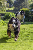 Old dog chased by pup. A five year old Bernese Mountaindog is playing tag with a four months old Landseer ECT (European continental type) pup stock photography