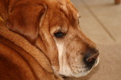 Old dog close up Royalty Free Stock Photography