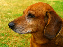 Old dog. Close-up of  Dachshunds senior sitting in a green grass Stock Photos