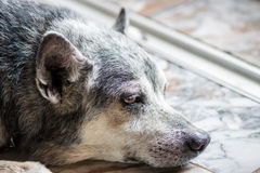 Old dog close up Royalty Free Stock Photos