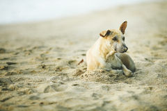 Old dog  crouching on sand beach. Old brown dog  crouching on sand beach Royalty Free Stock Images