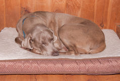 Old dog curled up, sleeping happily Royalty Free Stock Photo