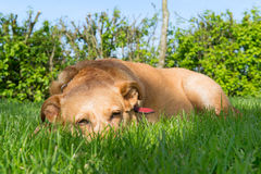 Old dog Royalty Free Stock Photography