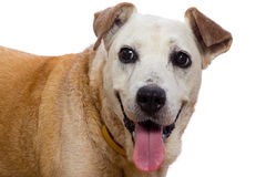 Old dog with a smile on white background Stock Images