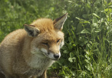 Old dog fox in grass. Very old dog fox moving rapidly through grass Stock Photo