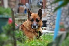 Old dog German shepherd resting Royalty Free Stock Photography