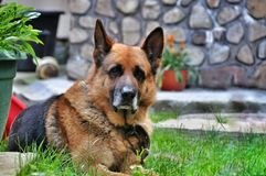 Old dog German shepherd resting royalty free stock photography