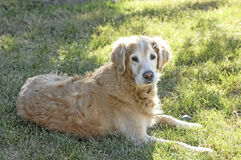 Old Dog. An old golden retriever takes a break in the shade. This contented dog enjoys the outdoors and is comfortable enjoying the day from the shadow of the royalty free stock photo
