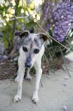 Old Dog Is a Great Dog. Sixteen year old Jack Russell Terrier with black and brown facial markings standing outside on a sunny afternoon next to a wisteria bush Royalty Free Stock Photography