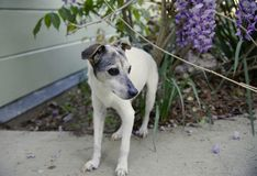Old Dog Is a Great Dog. Sixteen year old Jack Russell Terrier with black and brown facial markings standing outside. Wisteria blossoms behind her, next to a Stock Photo