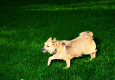 Old dog on green grass Stock Image