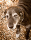 Old Dog with Grey Hair Royalty Free Stock Image
