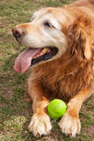 Old Dog and his Ball Royalty Free Stock Photography