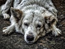 Old Dog. Injured, Sick and tired royalty free stock photography