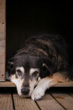 Old dog in kennel. Vertical format brown toned image of sad old dog in kennel royalty free stock images