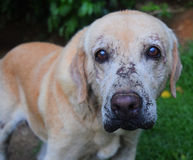 Old Dog. Old labrador living at Countryside Stock Photos