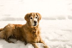 Old Dog Laying in the Snow royalty free stock photography