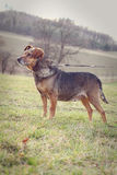 Old dog on a leash. Old dog on a meadow leash Royalty Free Stock Photos