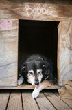 Old dog licking paw in kennel Stock Photography