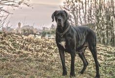 Old dog looking at camera royalty free stock photo
