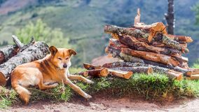 Old dog lying on firewood stock images