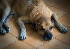 An old dog lying in front of the house Stock Images