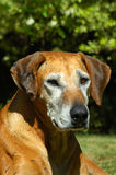 Old dog portrait Royalty Free Stock Photography