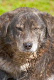 Old dog portrait with closed eyes. And brown fur Stock Photography