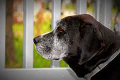 Old dog. Profile photo of aging black dog with red eyes Stock Photo