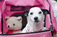 Old dog in pushchair. An old black and white Jack Russell terrier dog in pushchair with toy bear Stock Photo