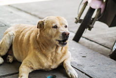 Old dog resting on the floor Stock Images