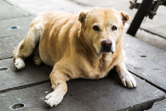 Old dog resting on the floor Royalty Free Stock Photos