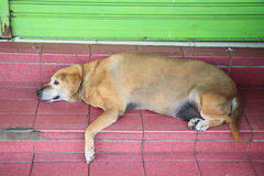 Old Dog Resting Royalty Free Stock Image
