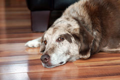 Old dog resting indoors Stock Photos