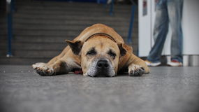 Old Dog Resting Royalty Free Stock Photos
