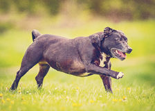 Old dog running Royalty Free Stock Photography