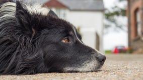 Old dog with sad eyes Royalty Free Stock Image