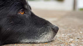 Old dog with sad eyes. Rests his head Royalty Free Stock Photo