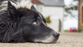 Old dog with sad eyes. Rests his head Royalty Free Stock Image