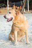Old Dog sitting on beach Royalty Free Stock Image