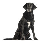 Old dog sitting, isolated Royalty Free Stock Image