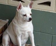 Old dog Royalty Free Stock Image